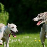 Lure Coursing - En god hundesport