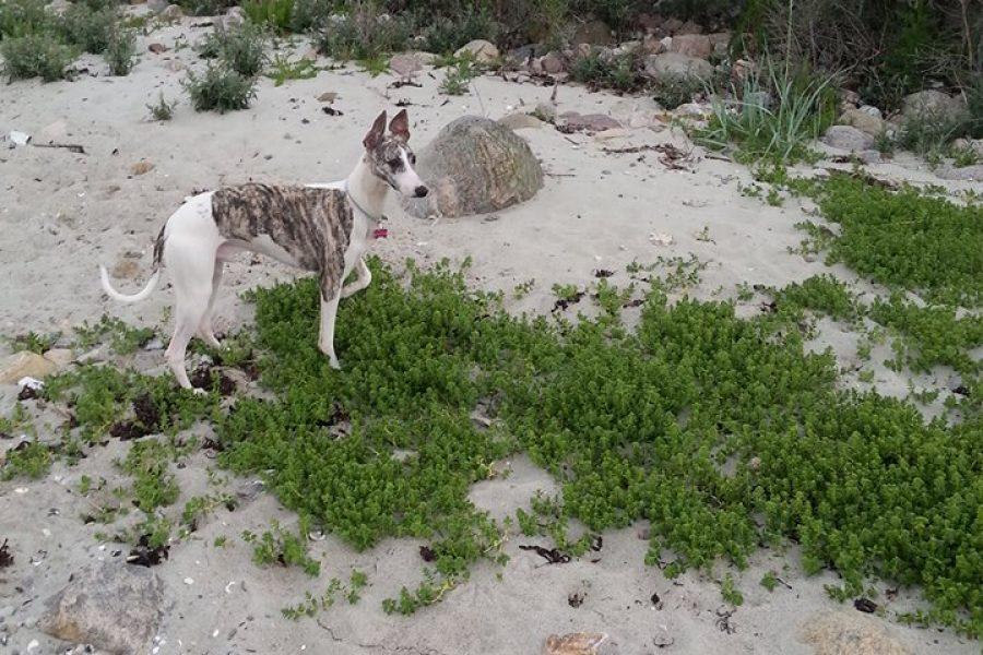 Kennel Muspøt Whippet - Whippet ved stranden
